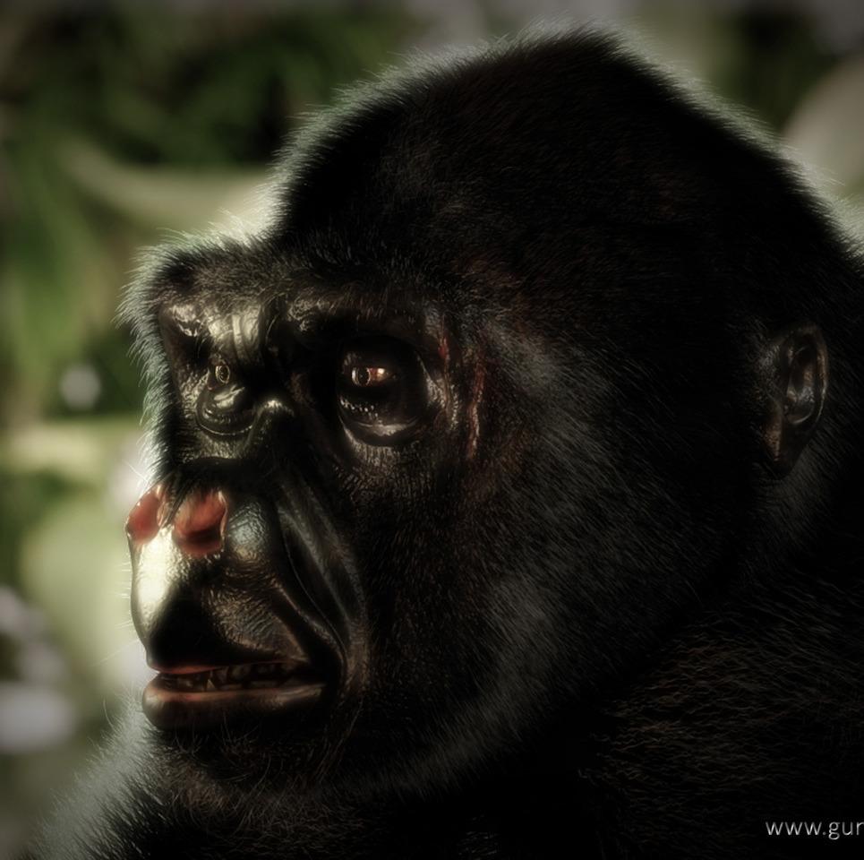 Gorilla show