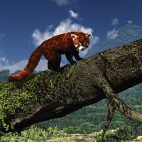 Red panda cover