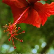 Jaswandflower small