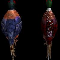 Pheasant dos cover