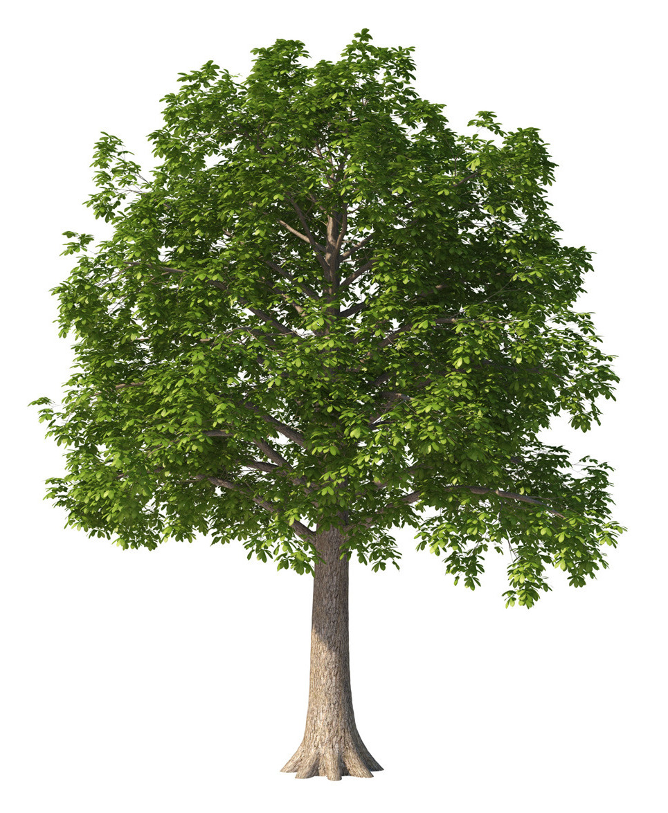 Chestnut tree 01 show