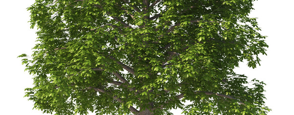 Chestnut tree 01 wide