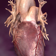 Heart synapse small