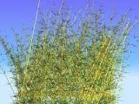 Free Bamboo for Maya 1.0