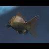 00 06 16 926 goldfish3 4