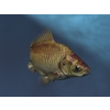 00 06 16 977 goldfish4 4
