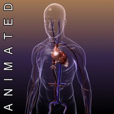 Circulatory System Anatomy in a Human Body 3D Model