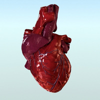 Human Heart Internal 3D Model