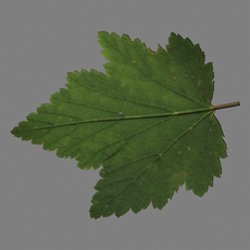 Currants leaf 3D Model