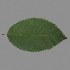 Rose leaf 3D Model