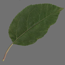 Apple leaf 3D Model