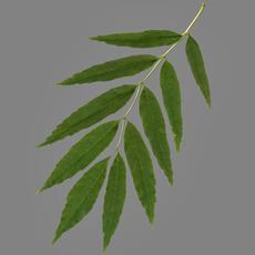 Elm leaf 3D Model