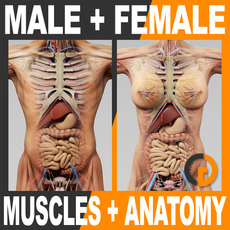 Human Male and Female Anatomy - Body, Muscles, Skeleton and Internal Organs 3D Model