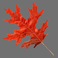 Scarlet oak leaf red 3D Model