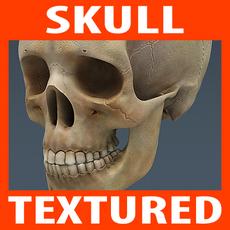 Human Textured Skull 3D Model