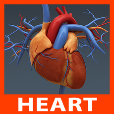Anatomy - Human Heart 3D Model