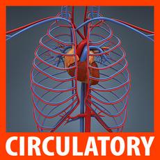 Human Circulatory System - Anatomy 3D Model