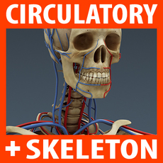 Human Circulatory System and Skeleton - Anatomy 3D Model