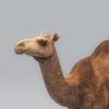 01 31 12 324 camel 04 4