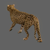 01 31 17 242 cheetah 02 4