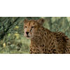 01 31 18 192 cheetah hd 01 4