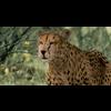 01 31 19 37 cheetah hd 01 4