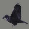 01 31 19 948 crow 02 4