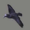 01 31 20 36 crow 03 4