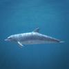 01 31 27 426 dolphin 03 4