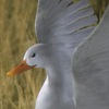 01 31 33 495 duck white 01 4