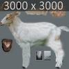 01 31 51 424 goat 0003 4