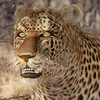 01 32 39 107 leopard 01 4