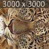 01 32 39 435 leopard 03 4