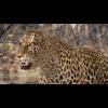 01 32 40 467 leopard hd 02 4