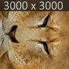 01 33 27 410 lioness 18 4