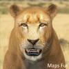 01 33 29 580 lioness 11 4