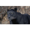 01 33 52 67 panther 01 4
