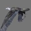 01 35 00 524 vulture white 0003 4