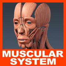 Human Muscular System - Anatomy 3D Model
