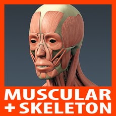 Human Muscular System and Skeleton - Anatomy 3D Model