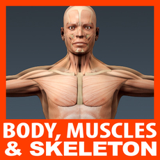 Human Male Body, Muscular System and Skeleton - Anatomy 3D Model