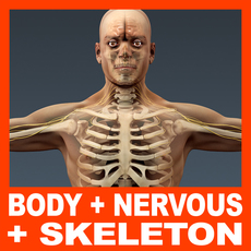 Human Male Body, Nervous System and Skeleton - Anatomy 3D Model