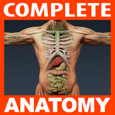Human Male Anatomy - Body, Muscles, Skeleton, Internal Organs and Lymphatic 3D Model