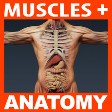 Human Male Anatomy - Body, Muscles, Skeleton and Internal Organs 3D Model