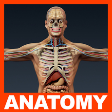 Human Male Anatomy - Body, Skeleton and Internal Organs 3D Model