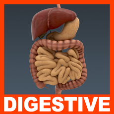 Human Digestive System - Anatomy 3D Model