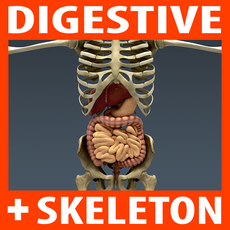Human Digestive System and Skeleton - Anatomy 3D Model