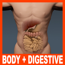 Human Male Body and Digestive System - Anatomy 3D Model