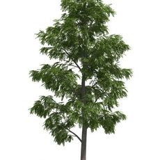 Acacia tree by 3dmentor 3D Model