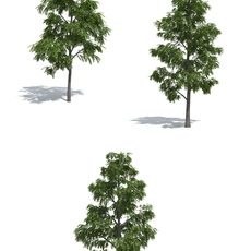 Acacia trees 3-in-1 by 3dmentor 3D Model